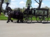horse-drawn-funerals-black-hearse-3